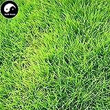 Potseed Graines: Germination 500pcs: Acheter des graines à Feuilles persistantes Tendre Manilagrass Plante pelouse Herbe Zoysia Japonica