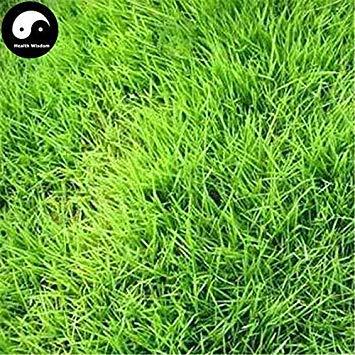 Potseed Germinación de Las Semillas: 500pcs: Comprar Semillas Evergreen Suave Manilagrass Planta de Hierba del césped Zoysia japónica