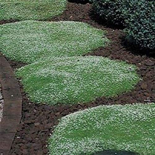 PLAT FIRM GERMINATIONSAMEN: Irish Moss 5000 Samen Begehbare Bodendecker Rasen Ersatz Permakultur Garten