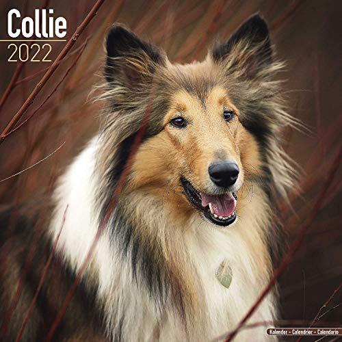 Collie 2022 - 16-Monatskalender: Original Avonside-Kalender [Mehrsprachig] [Kalender]: Original BrownTrout-Kalender [Mehrsprachig] [Kalender] (Wall-Kalender)