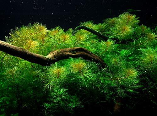 Tropica Aquarium Pflanze Aquariumpflanze Myriophyllum mattogrossense Nr.037 Wasserpflanzen Aquarium Aquariumpflanzen