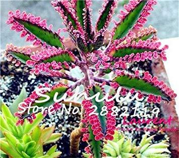 Vista 50 Pcs Rouge Longévité Fleur Graines Mini Succulentes Pots Plantas Vivaces Belle Kalanchoe Roman Bonsai Illuminez Votre Jardin 3