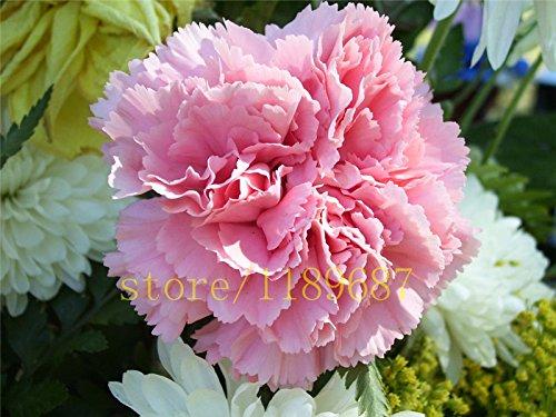 200 pcs graines de carnation fleurs vivaces haute survie mère de taux graines de fleurs des graines de fleurs rares pour la maison jardin meilleur cadeau de maman