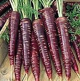 100 Lila Möhre Samen'schwarze Spanische', Daucus carota, Urmöhre, alte Sorte, samenfest