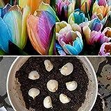 kemanner 100pcs/ bag Rainbow Tulip Bulbs Seeds Garden Flower Plant Flowers Seeds