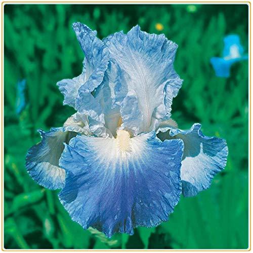 Iris-Zwiebeln, Farbe Blau, modisches Geschenk, hübsche Gartenwurzel, exotischer Charm, starke Wurzeln,-2 Zwiebeln