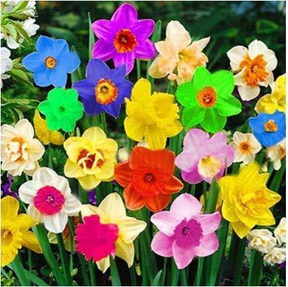TOMASA Seedhouse- 100 semillas de narcisos raros semillas de flores multicolores perennes...