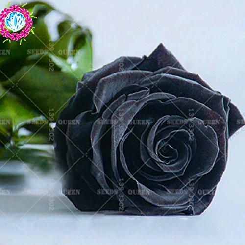 Nouveau rares hybrides scientifiques variété !!! 200 pcs/sac noir rose plante graines en pot Maison et jardin cour 95% survivent fleur bonsaïs 2