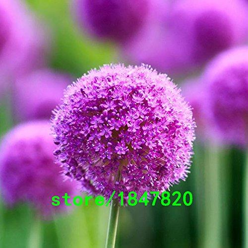 100pcs púrpura gigante Allium giganteum Semillas hermosa flor regalo jardín de la planta