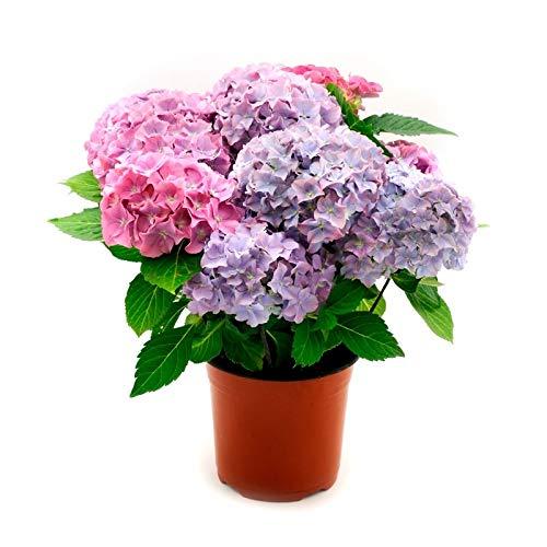 Hortensia Planta Natural con Flor Hydrangea Maceta 14cm Colores Surtidos