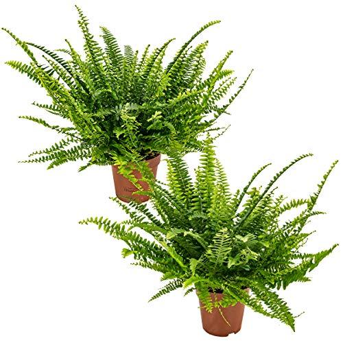 Lockiger Farn | Nephrolepis pro 2 Stück - Luftreinigende Zimmerpflanze in einem Aufzuchttopf ⌀12 cm - 40 cm