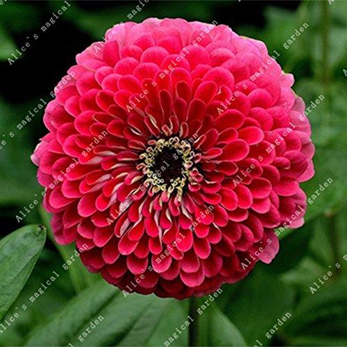ZLKING 100 pièces/paquet chinois Zinnia elegans herbe Bonsai Graines Chrysanthème Décorés Jardin Haute variétés végétales ont un parfum 3