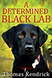 A Determined Black Lab