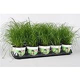 Blumen-Senf Katzengras 5 Pflanzen - Cyperus alternifolius Zumula - zur Verdauungsunterstützung von Katzen