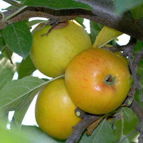 Apfel Goldparmäne, Busch Malus domestica