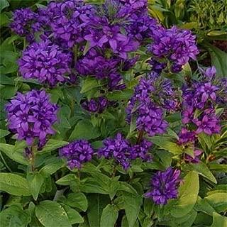 Outsidepride Bellflower Campanula Glomerata Superba Plant Seed - 1000 Seeds