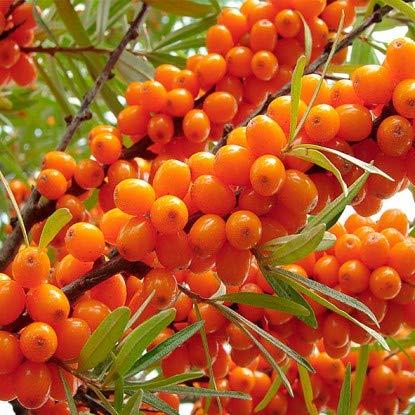 Keland Garten - 100pcs Raritäten Sanddorn weiblich 'Leikora' ertragreich, Vogelschutz- und nährgehölz Baumsamen Blumensamen winterhart mehrjährig