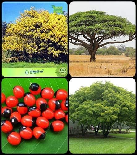 Pinkdose Baumsamen Pflanze Silber-Akazie, Acacia Senegal, Paternostererbse, Albizia lebbeck Combo Für HomPinkdose Baum Samen & Baum Samen & Kräuter Baum & Shade Tree Seeds von Pinkdose Seed