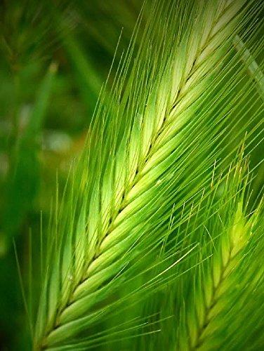 100 ORZO Hordeum Vulgare inerbimento grano semi delle colture Birra