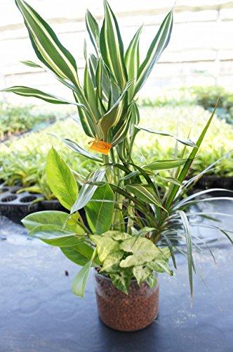 【苗が4種類も入ってこのお値段!お世話は基本水やりのみ。土を使っていないので衛生的!】 ハイドロカルチャー 観葉植物 寄せ植え4種 プラスチック鉢クリア5号