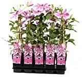 Waldrebe Clematis Nelly Moser 60-80 cm Kletterpflanze