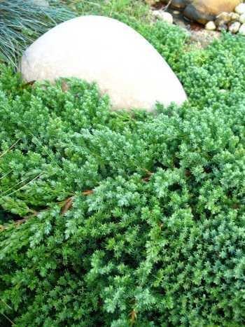 japanischer Kriechwacholder Juniperus procumbens Nana 25-30 cm breit im 3 Liter Pflanzcontainer
