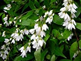 Nikko Dwarf Deutzia - Brilliant White Flowers - Hardy - 4' Pot