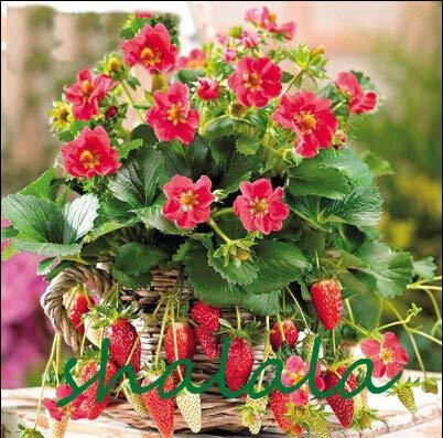 Fragola Bonsai, pianta rampicante Fragola, Fragola Dolce Multi Colore, impianto di Frutta Biologica, per Il Giardino di casa, 200pcs / Bag: 1