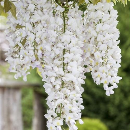 Weißer Chinesicher Blauregen - Wisteria sinensis 'Alba' Kletterpflanze mit großen weißen Blütentrauben - Topf gewachsen (40-60cm)