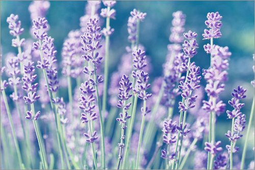 Posterlounge Acrylglasbild 60 x 40 cm: Lavendel Lila von Atteloi - Wandbild, Acryl Glasbild, Druck auf Acryl Glas Bild