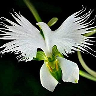 白鷺蘭の100pcs 植物観賞用盆栽レア屋外花苗ナチュラルインテリアさまざまな種類の植物の中から選択します...
