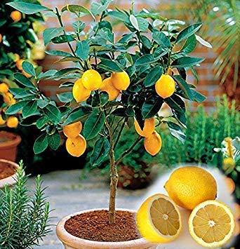 Vista 30 graines/sachet de citronnier, graines de citron, bonsaï, graines de fruitier biologiques Heirloom, croissance naturelle, plante pour mini décor de jardin