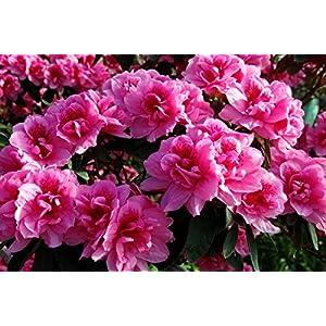 Da Bang Nature Petals Rhododendron Flower Fabric Silk Poster Print Home Decoration 114751