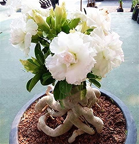 Desert Rose Impresionante Regalo Patio Jardín Decoración Del Hogar Planta Bulbo Especies Raras-4-rizoma,Blanco