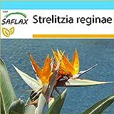 SAFLAX - Set regalo - Ave del paraíso - 5 semillas - Con caja regalo/envío, etiqueta para envío, tarjeta de felicitación y sustrato de cultivo y fertilizante - Strelitzia reginae