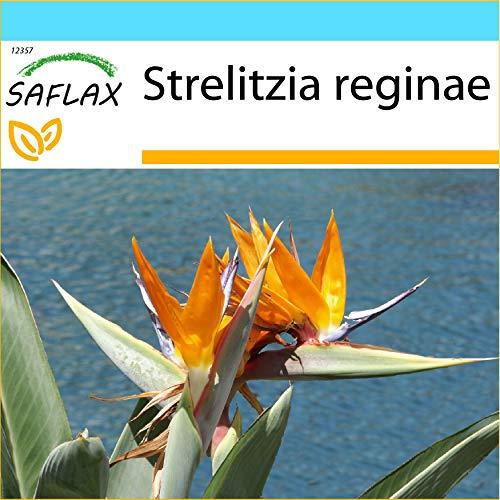 SAFLAX - Geschenk Set - Paradiesvogelblume (reginae) - 5 Samen - Mit Geschenk- / Versandbox, Versandaufkleber, Geschenkkarte und Anzuchtsubstrat - Strelitzia reginae