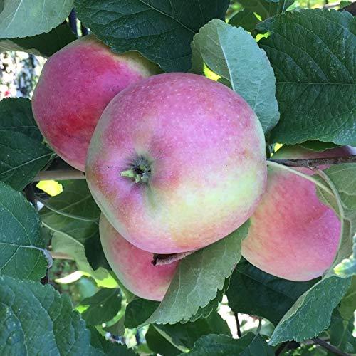 Müllers Grüner Garten Shop Apfelbaum Riesenaport russischer Herbstapfel 100-120 cm 5 Liter Topf Unterlage M7