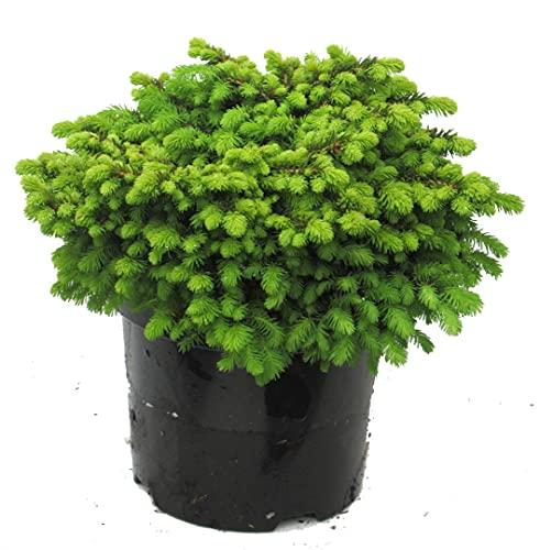 Picea abies Little Gem - Nestfichte
