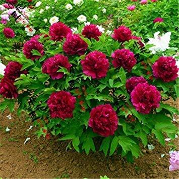 VISA STORE Haus & Garten 20 Paeonia Tenuifolia Samen Blatt Peony Samen Peony Samen Doubleing Blatt Peony Rubra Plena Ga