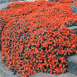 200 Creeping Thyme Seeds Flower Seeds ROCK CRESS GROUND COVER Seeds Carpet Evergreen Plant Easy to Grow for Garden Lawn 1