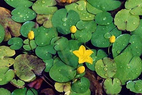 haus & garten 4 Pflanzen Seekanne Mini-Teichrose tolle Wasserpflanze Teichpflanze ideal für Mini Teiche Nymphoides peltata