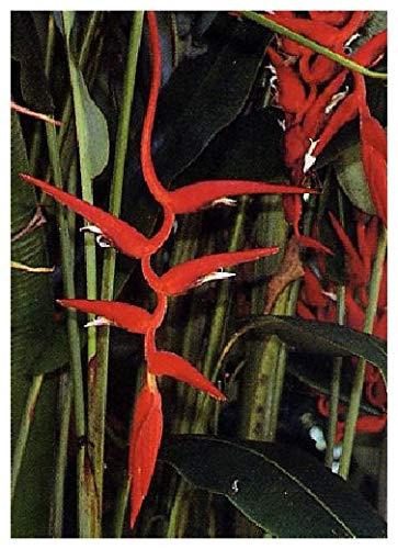 TROPICA - Rote Heliconie (Heliconia pendula syn. Heliconia collinsiana) - 10 Samen