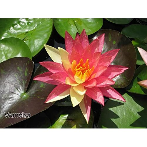 Water Lily Amazoncouk