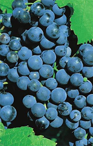 Vitis vinifera Weinrebe Dornfelder | blaue Weintraube Tafeltraube | mittelfrühe Preis nach Größe veredelt mit Neuaustrieb