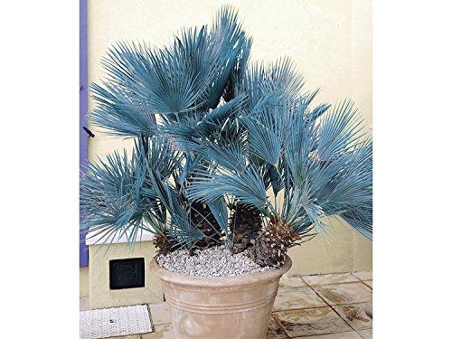 Rarität Frostharte Blaue Zwergpalme Chamaerops humilis Cerifera Größe ca. 60-80 cm.
