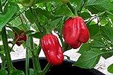 Alick 10 semillas de hortalizas Aji Chombo Pepper
