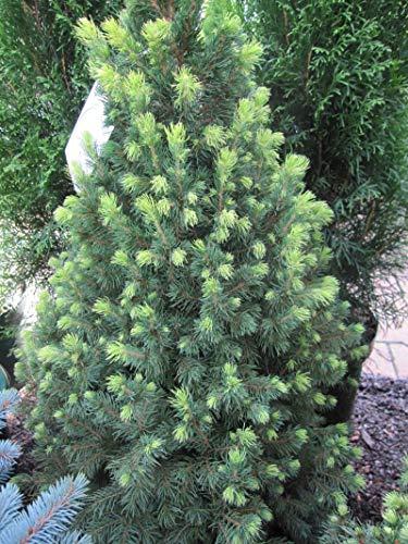 Picea glauca Rainbows End - Zuckerhutfichte Rainbows End - Weiß-Fichte - Schimmel-Fichte -
