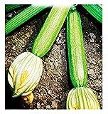 Semi Per Coltivare Zucchino Alberello Di Sarzana Sel. Corda Cucurbita Pepo Zucchine Semi Per Coltivare Agricoli Zi010 95 Sementi Circa Alta Qualità