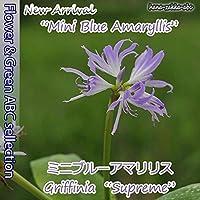 【限定】超希少!【幻の花】ミニブルーアマリリス5号