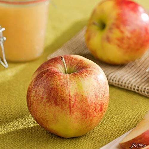 Apfel Gala - Malus - Winterhart - Fruchtreife September bis Oktober - Liefergröße circa 120cm als Containerpflanze